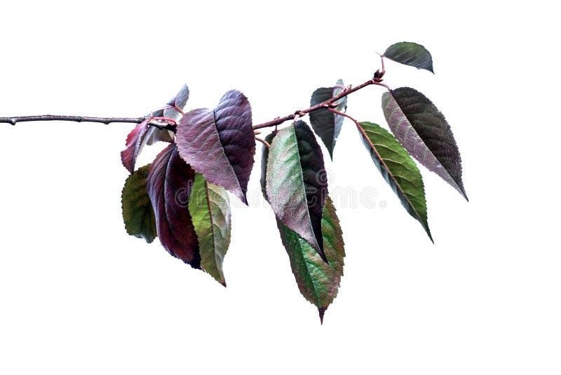 Fundo do ver?o com as folhas verdes dos ramos isoladas no branco Ramalhete fresco Botanica imagem de stock