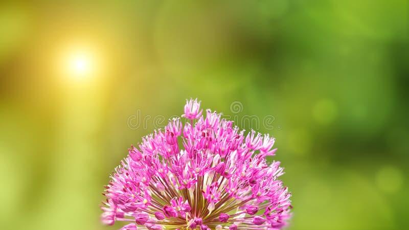 Fundo do verão com a flor cor-de-rosa do Allium na parte dianteira fotos de stock royalty free