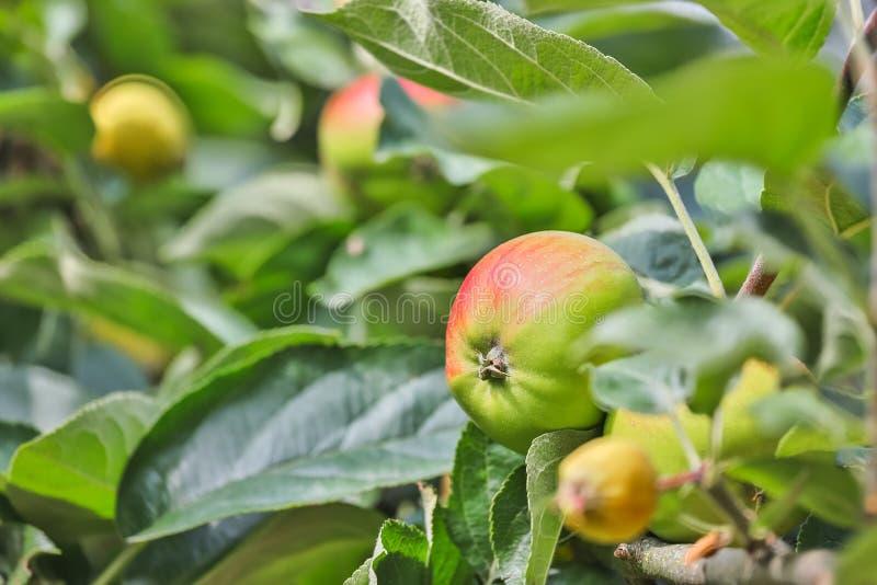 Fundo do verão da árvore de Apple foto de stock