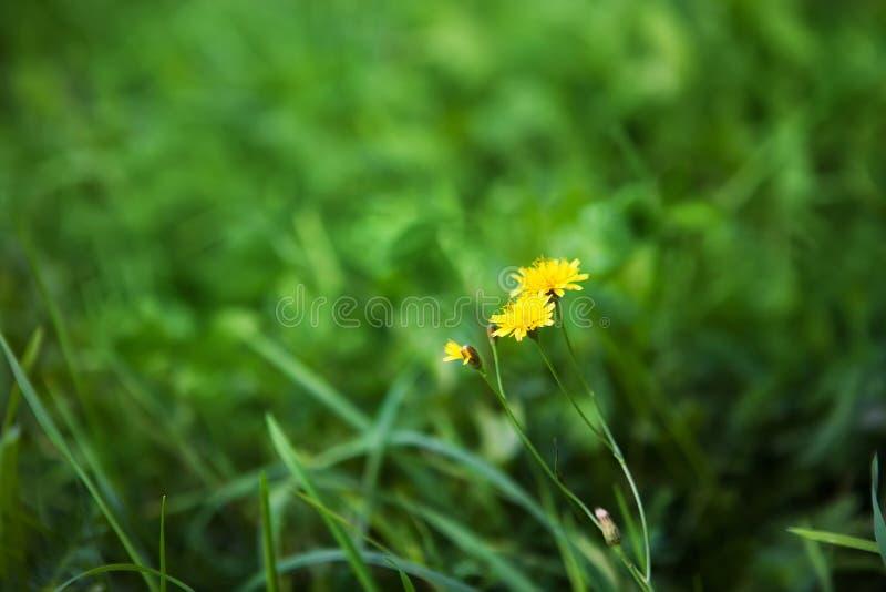 Fundo do verão da natureza com as flores do hawkbit do outono foto de stock royalty free