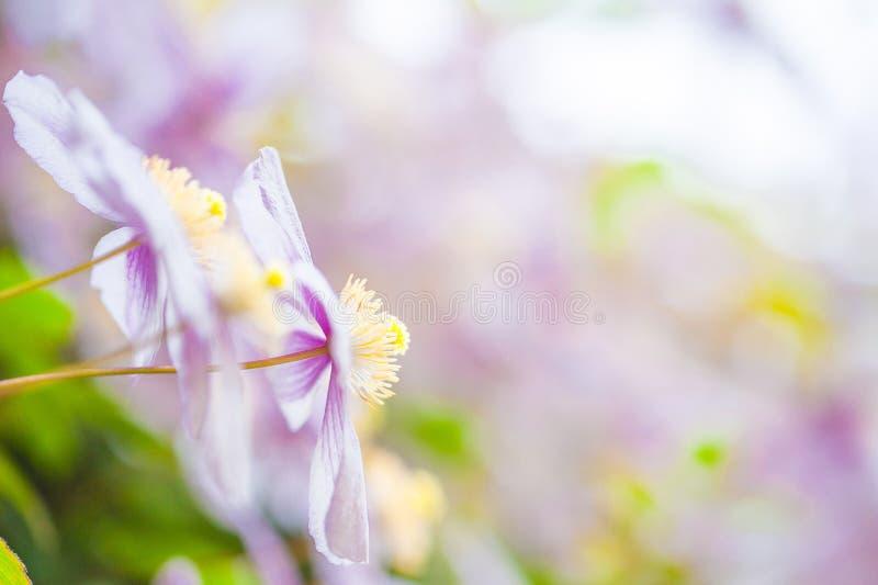 Fundo do verão: uma cascata de flores cor-de-rosa da clematite Copie Spac foto de stock