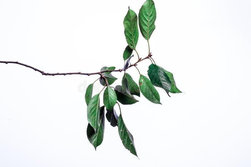 Fundo do ver?o com as folhas verdes dos ramos isoladas no branco Ramalhete fresco Botanica fotografia de stock