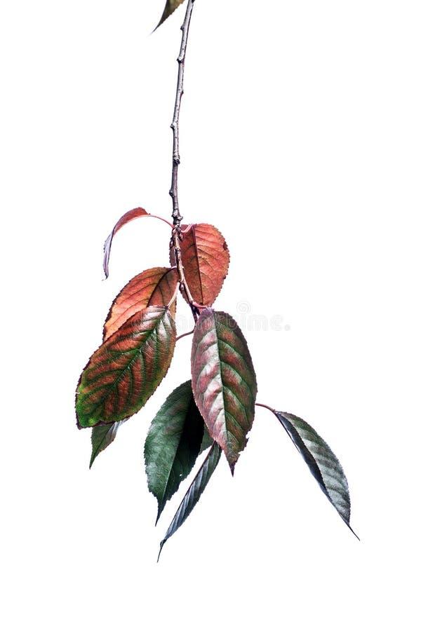 Fundo do ver?o com as folhas verdes dos ramos isoladas no branco Ramalhete fresco Botanica imagens de stock