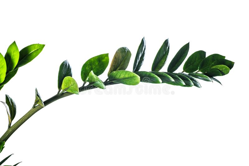 Fundo do ver?o com as folhas verdes dos ramos isoladas no branco Ramalhete fresco Botanica imagem de stock royalty free