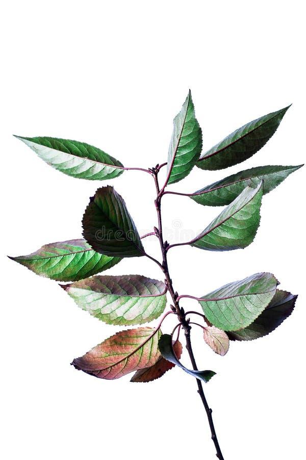 Fundo do ver?o com as folhas verdes dos ramos isoladas no branco Ramalhete fresco Botanica fotos de stock
