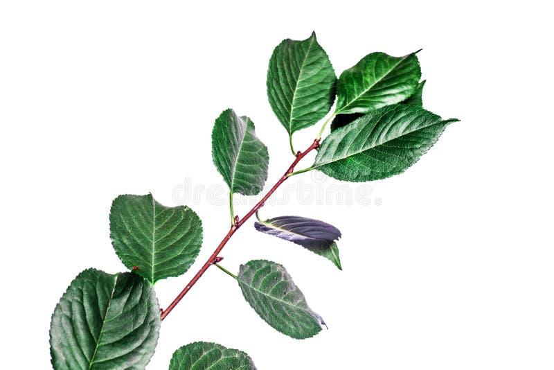 Fundo do ver?o com as folhas verdes dos ramos isoladas no branco Ramalhete fresco Botanica fotografia de stock royalty free