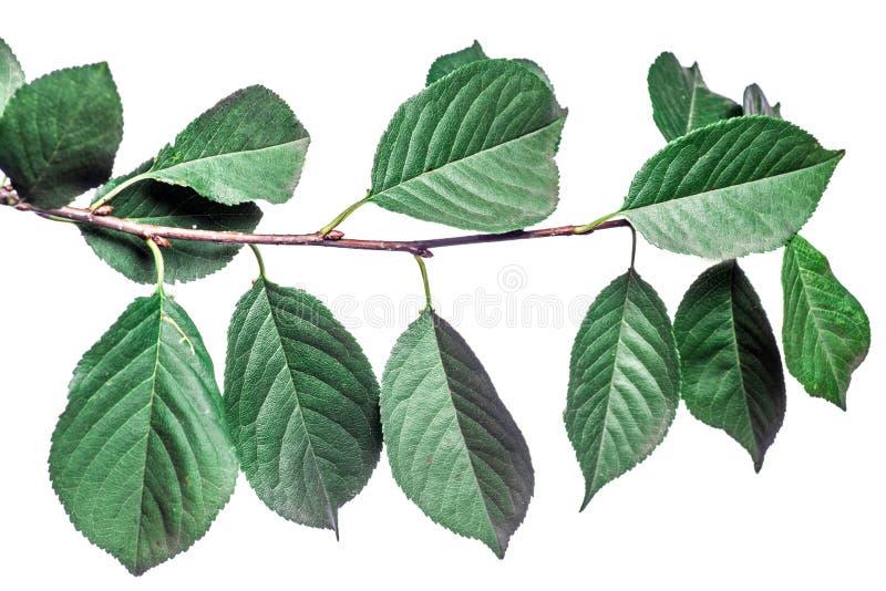 Fundo do ver?o com as folhas verdes dos ramos isoladas no branco Ramalhete fresco Botanica foto de stock royalty free