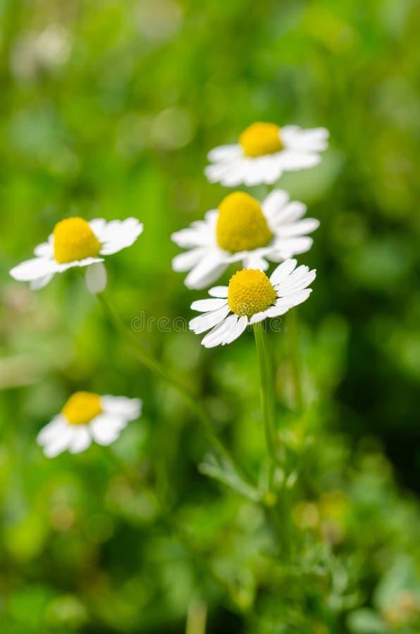 Fundo do vintage das margaridas, close up da flor da margarida em sunyday fotografia de stock
