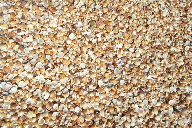 Fundo dos Cockleshells Shell que encontram-se no litoral, úmido e brilhando do sol após as ondas na costa imagem de stock royalty free
