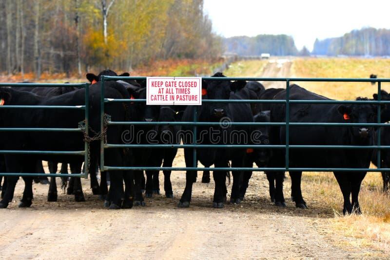Fundo dos gados bovinos imagem de stock royalty free