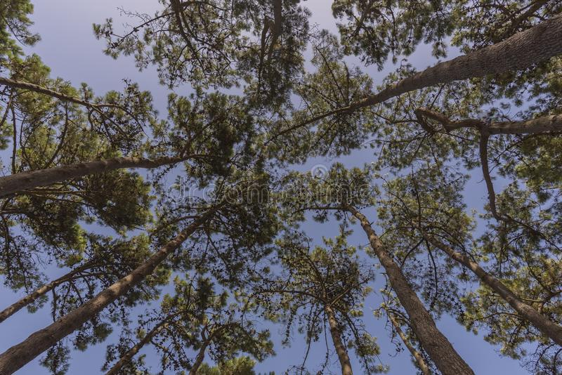 Fundo dos pinheiros imagem de stock