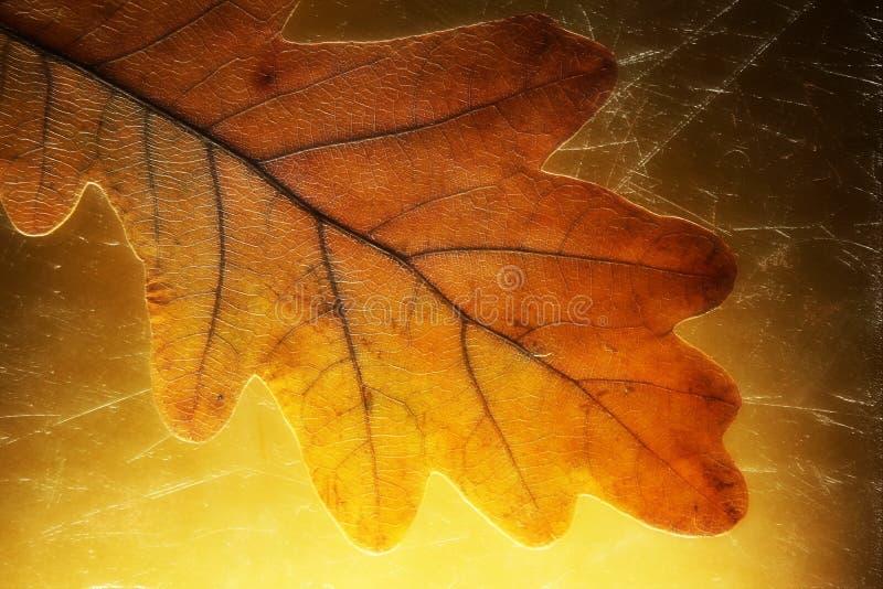 Fundo dourado da folha adiantada atrasada do carvalho amarelo do inverno do outono imagem de stock royalty free