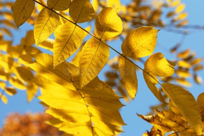 Fundo dourado das folhas fotografia de stock royalty free