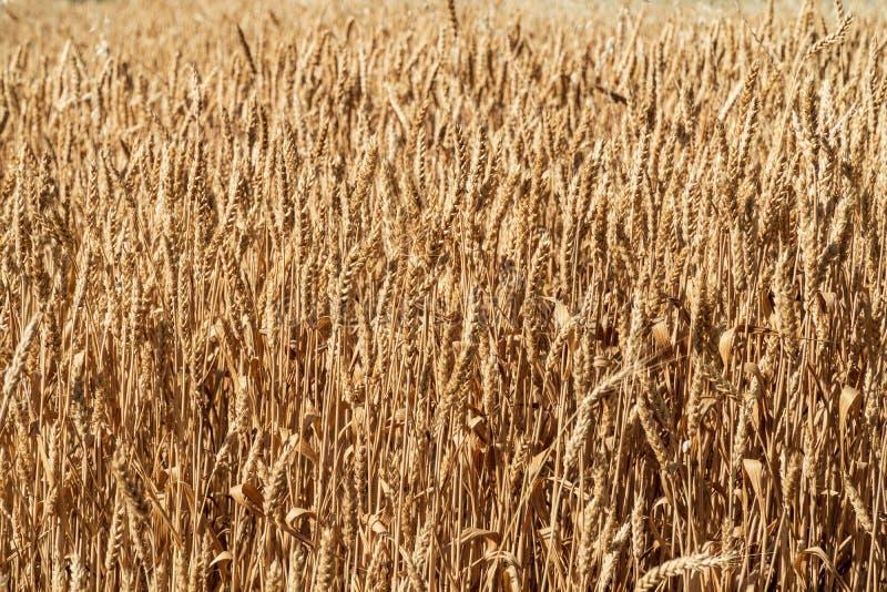 Fundo dourado maduro das orelhas do trigo imagens de stock royalty free
