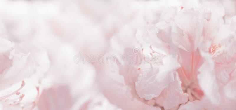 Fundo e bokeh românticos florais pasteis cor-de-rosa foto de stock royalty free