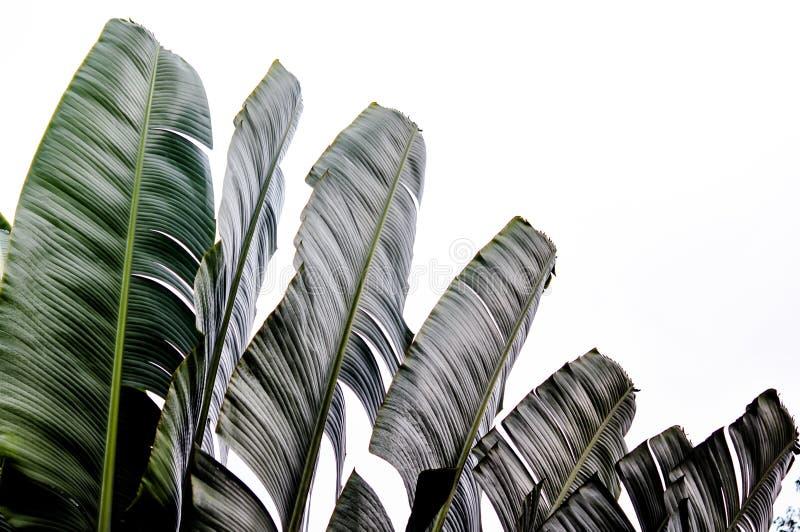 Fundo em folha de palmeira do viajante no teste padrão do weave da natureza imagem de stock