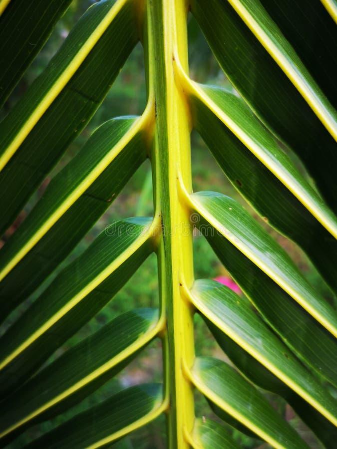 Fundo em folha de palmeira tropical verde e amarelo imagens de stock