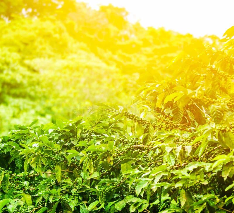 Fundo ensolarado da plantação de café imagens de stock royalty free