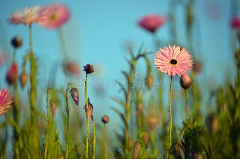 Fundo eterno australiano da mola do prado da margarida do rosa fotos de stock