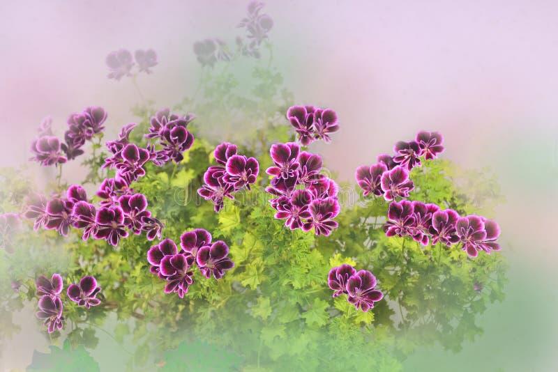Fundo floral artístico bonito com as flores cor-de-rosa delicadas do gerânio ou do pelargonium fotos de stock royalty free