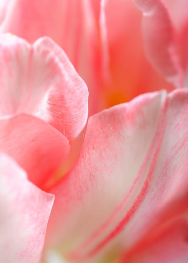Fundo floral bonito com as pétalas cor-de-rosa do tulip imagens de stock