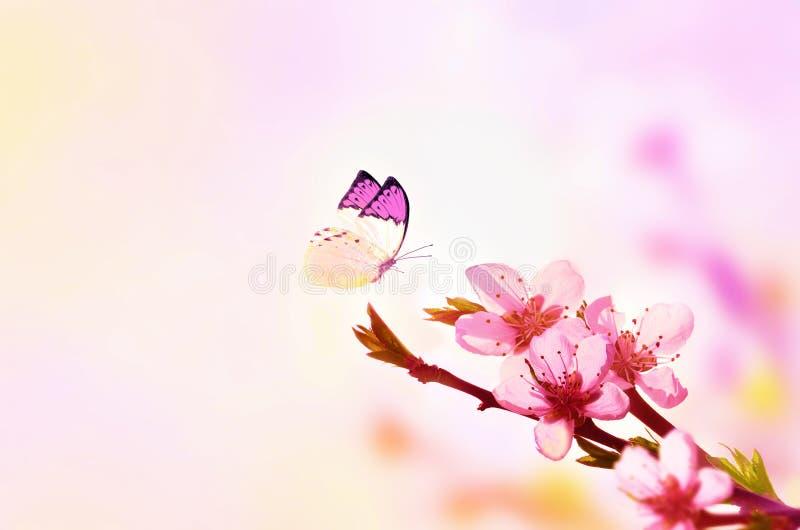 Fundo floral bonito do sum?rio da mola da natureza e da borboleta Ramo do p?ssego de floresc?ncia em claro - fundo cor-de-rosa do foto de stock