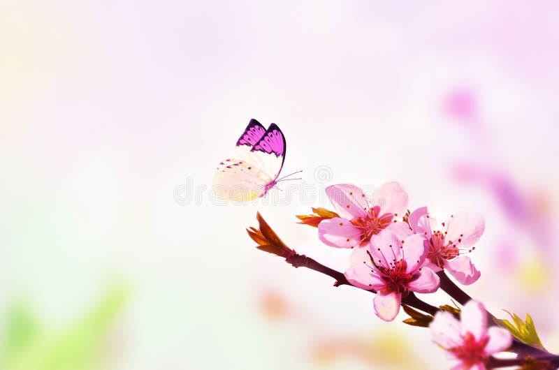 Fundo floral bonito do sum?rio da mola da natureza e da borboleta Ramo do p?ssego de floresc?ncia em claro - fundo cor-de-rosa do imagem de stock royalty free