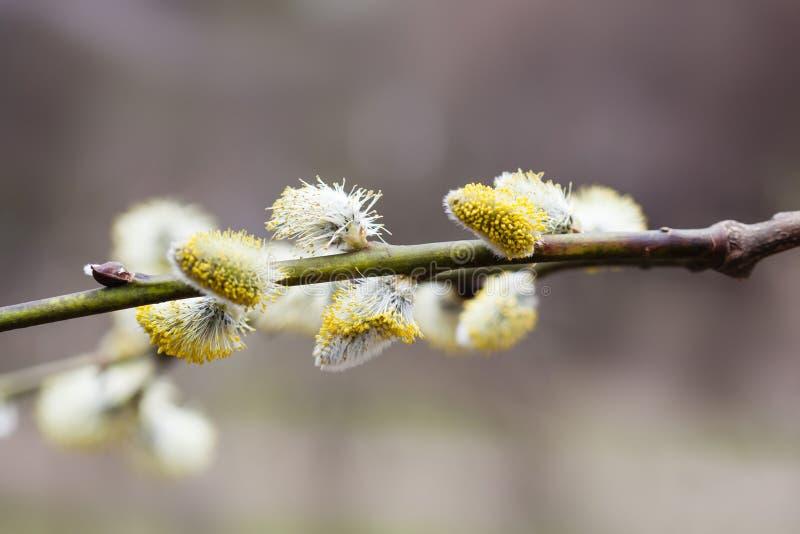 Fundo floral da mola bonita Ramo de florescência de florescência do amentilho do salgueiro de bichano vista macro, profundidade d fotografia de stock