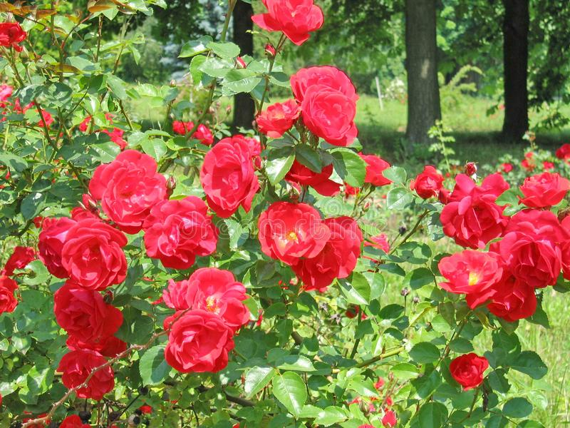 Fundo floral da paisagem do verão com rosas vermelhas fotografia de stock