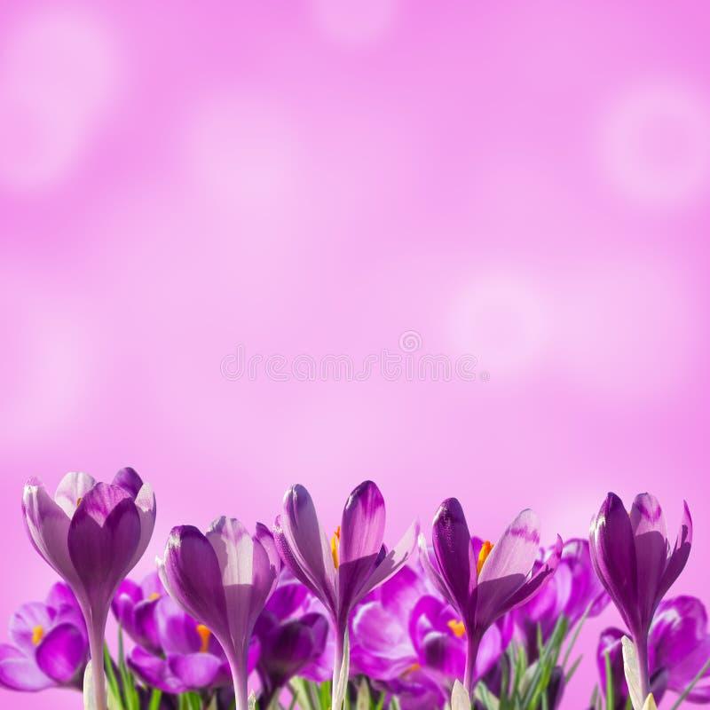 Fundo floral de Sprind com açafrões foto de stock