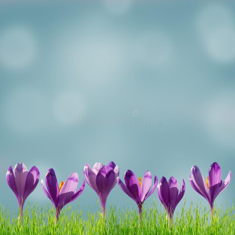 Fundo floral de Sprind com açafrões imagem de stock royalty free