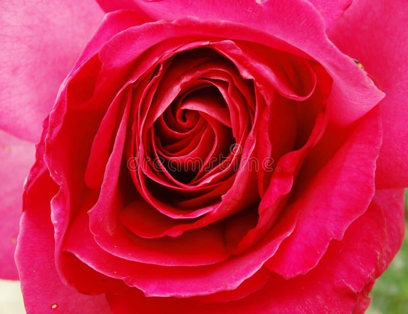 Fundo floral do campo do verão das flores de Rosa fotos de stock