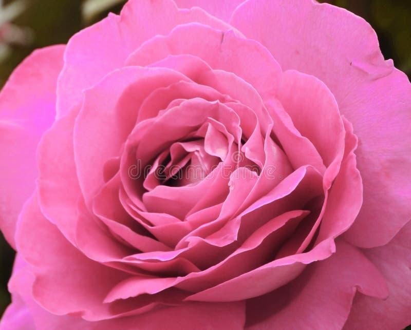 Fundo floral do campo do verão das flores de Rosa imagem de stock