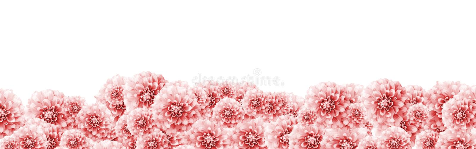 Fundo floral do quadro da beira da dália com luz - a dália branca cor-de-rosa floresce a cor do close up tonificada com beira da  fotografia de stock royalty free