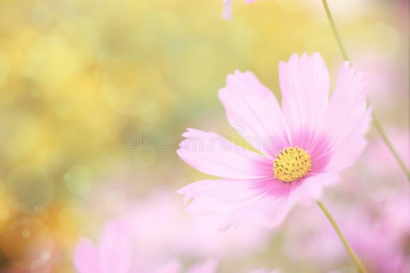 Fundo floral doce, flor cor-de-rosa do cosmos com foco macio imagem de stock royalty free