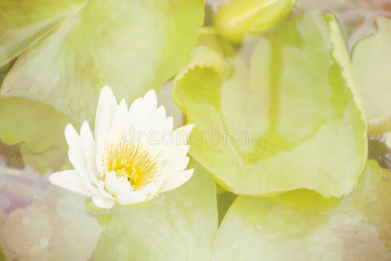 Fundo floral doce, flor de lótus brancos com foco macio imagem de stock royalty free