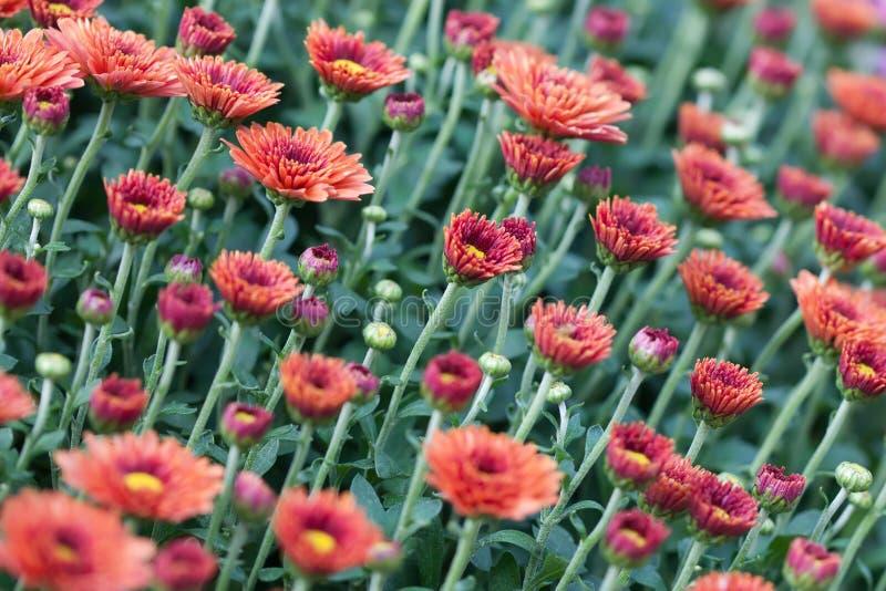 Fundo floral dos crisântemos vermelhos do campo Foto colorida do close-up de muitas flores dos mums Foco seletivo foto de stock royalty free