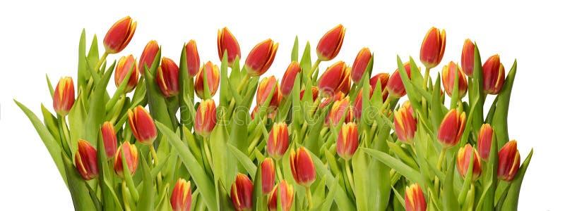 Fundo floral Flores?a a beira muitas flores de tulipas vermelhas isolam o close-up branco do fundo foto de stock royalty free
