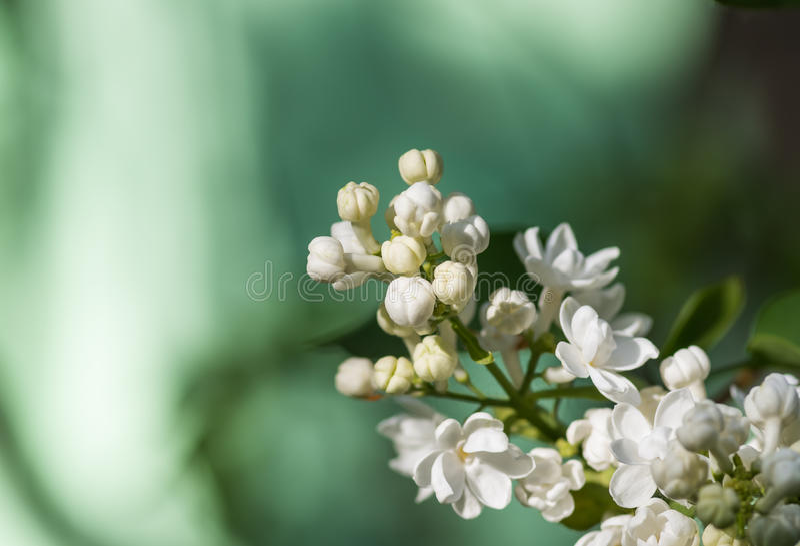 Fundo floral macio lilás das flores brancas da mola imagem de stock
