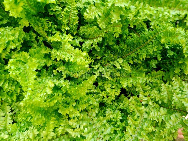 Fundo floral natural da samambaia da folha verde fresca das plantas e das folhas das samambaias imagens de stock royalty free
