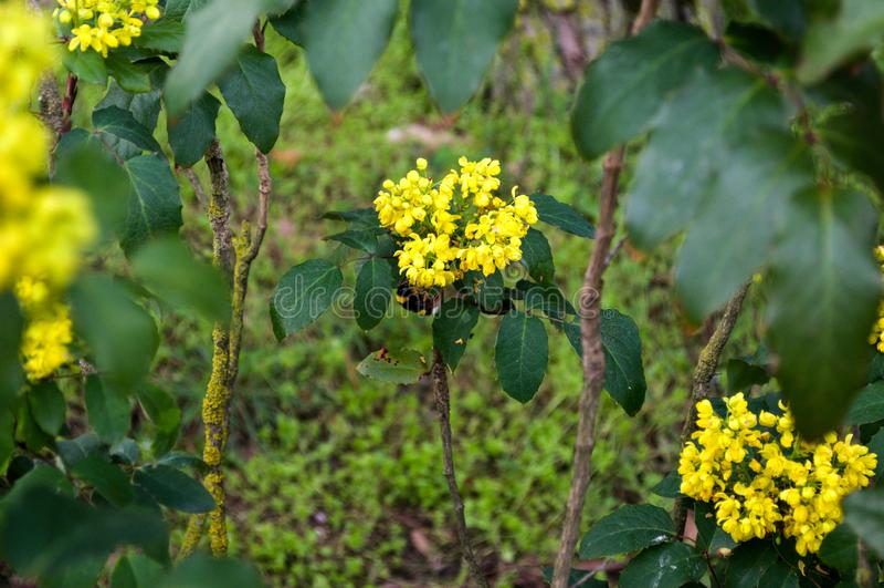 Fundo floral natural Vista incr?vel da c?mera do flava do Lantana fotografia de stock royalty free