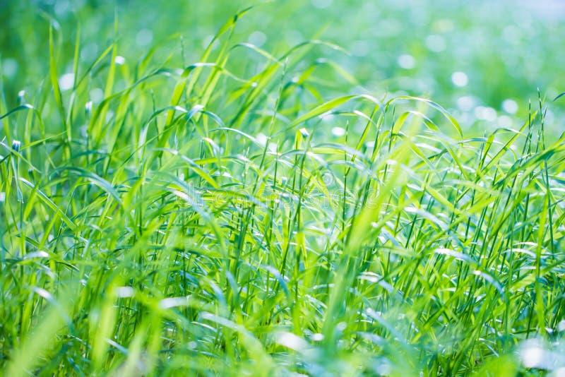 Fundo fresco da grama verde foto de stock royalty free