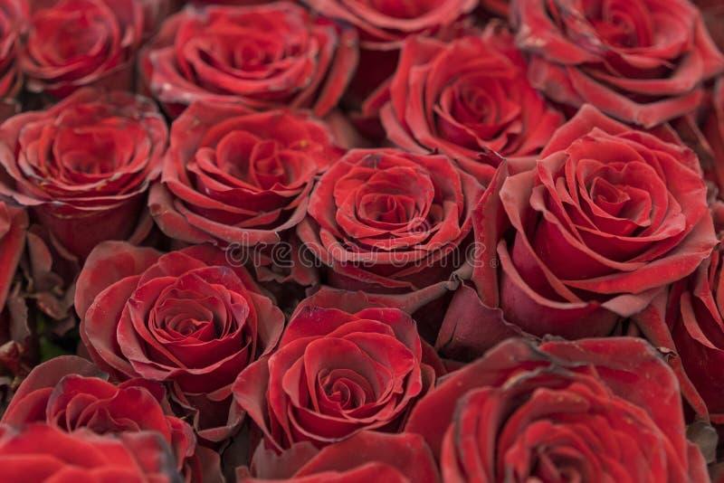 Fundo fresco das rosas vermelhas Um ramalhete enorme das flores O melhor presente para mulheres imagens de stock