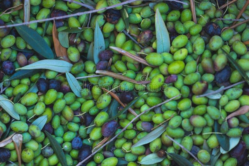 Fundo fresco verde e preto das azeitonas Colhendo no cultivar de Liguria, de Itália, de Taggiasca ou de Caitellier Imagem tonific foto de stock