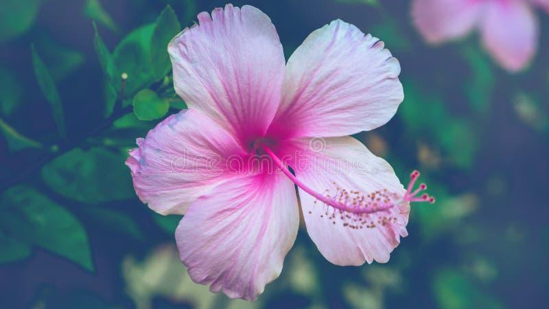 fundo Hibiscus rosa-sinensis fotos de stock