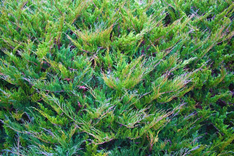 Fundo horizontal do verde da natureza do Natal Textura da planta do arbusto de zimbro fotografia de stock royalty free