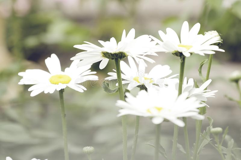 Fundo largo do campo de flores da camomila na luz do sol Margaridas do verão Cena bonita da natureza com chamomilles médicos de f imagens de stock