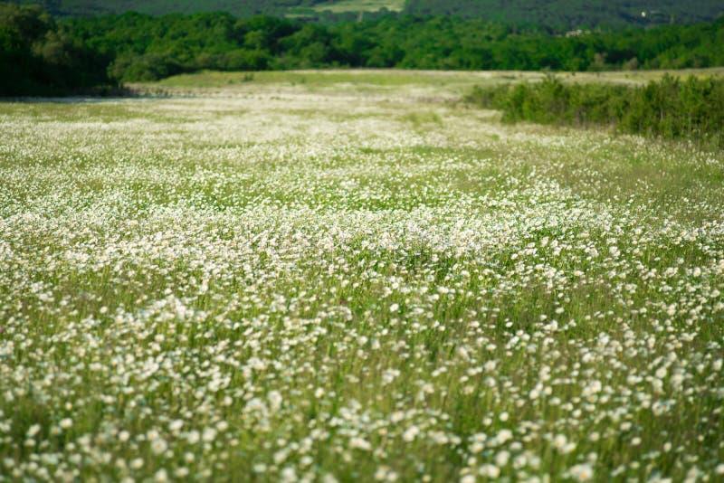 Fundo largo do campo de flores da camomila na luz do sol Margaridas do verão Cena bonita da natureza com chamomilles médicos de f imagem de stock royalty free