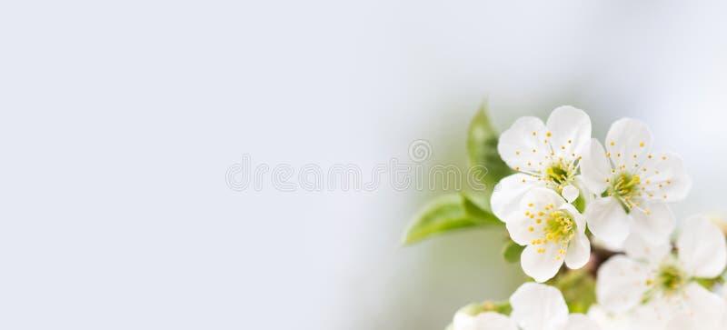 Fundo macio macio do convite da primavera Pétala branca de florescência do ramo da árvore de fruto, flores amarelas dos estames M fotos de stock royalty free