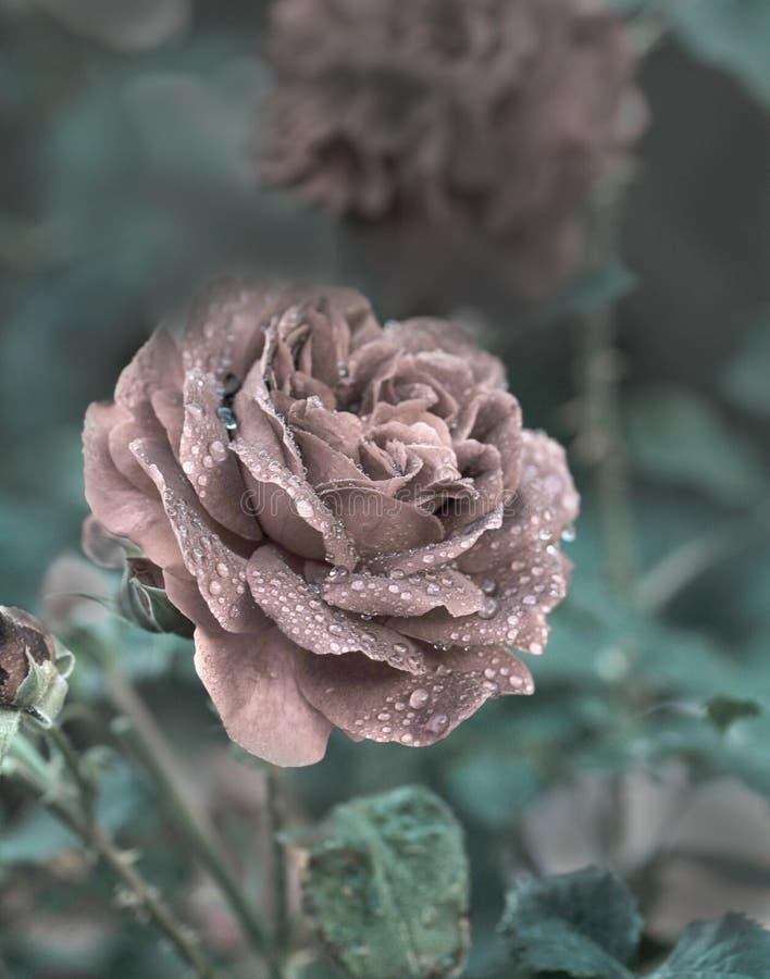 Fundo macio e romântico do vintage de Rosa fotos de stock royalty free